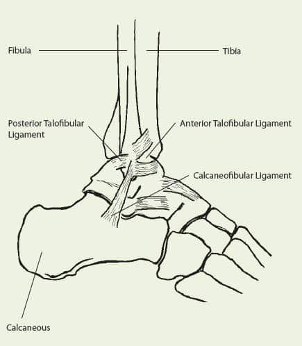 Ankle sprain - components of the ankle - Revive Physiotherapy and Pilates